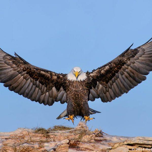 Eagle Facts